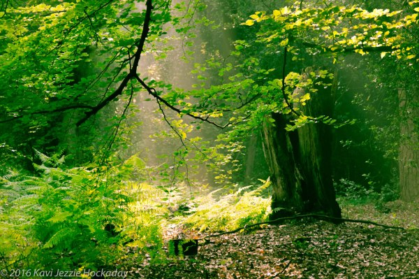 Sunbeams in the green wood